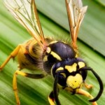 03_Vespula_germanica_Richard_Bartz