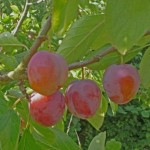 plums_0.standard 460x345