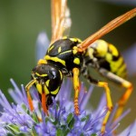 wasp-on-flower-480x320