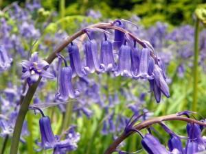 Bluebell_aka_Hyacinthoides_non-scripta