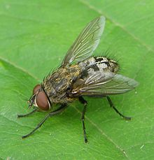 220px-Pollenia-sp-Cluster-fly-20100718a